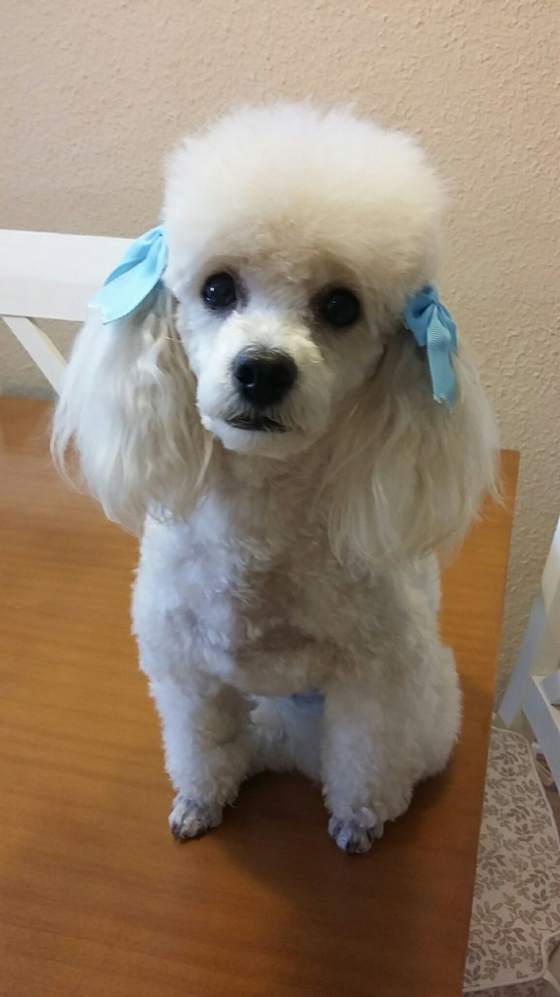 Pin By My Info On Puppies Poodle Animals Beautiful Tea Cup Poodle