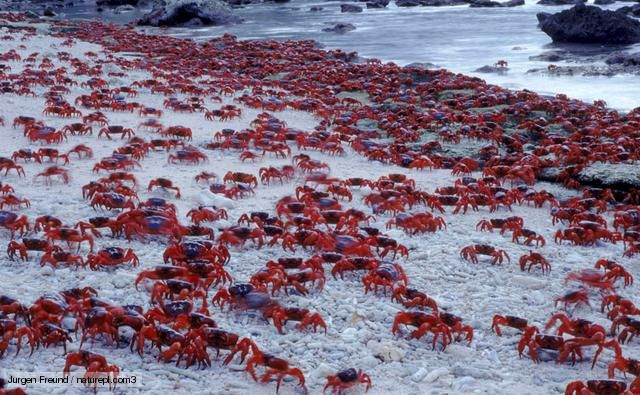 masses of christmas island red crabs spawning on the beach