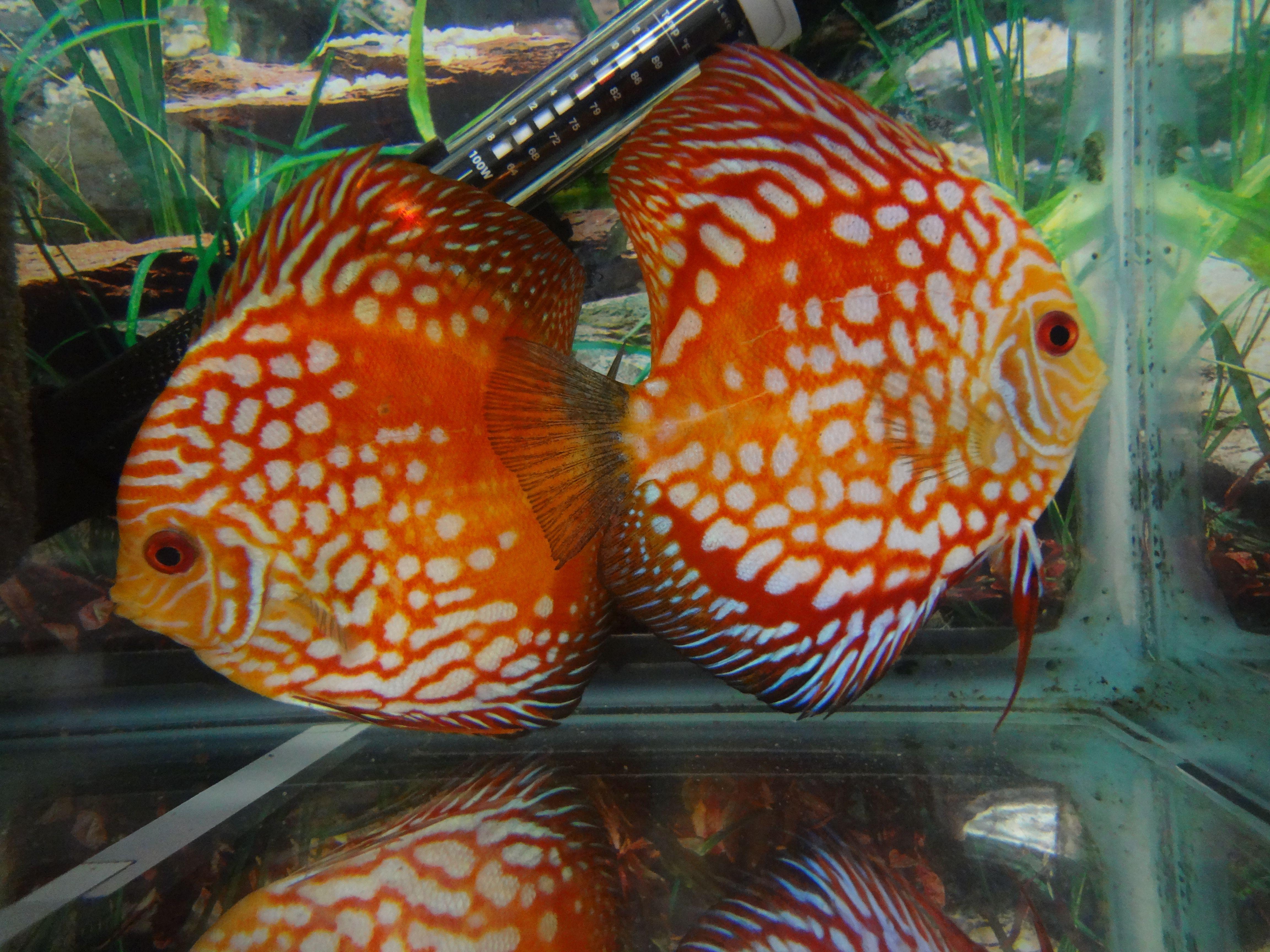 Discus Red Panda Freshwater Aquarium Fish Discus Fish Tropical Fish