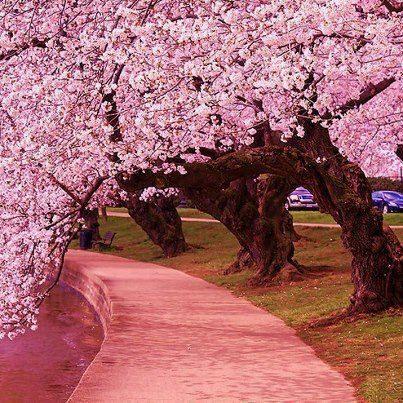 Pin By Flo Schell Artist On Creative Ideas Japanese Cherry Tree Blossom Trees Cherry Blossom Tree