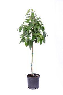 cold hardy avocado avocado treefast - Growing Avocado Trees
