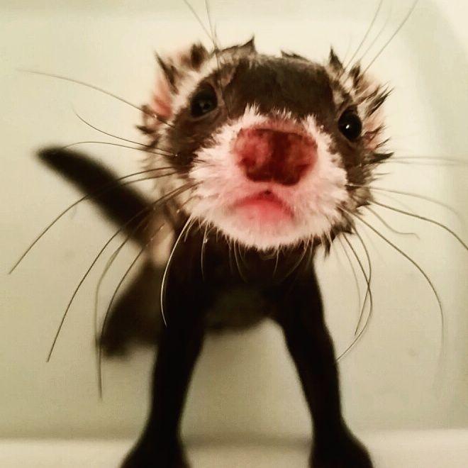 Ferret bath time http://ift.tt/2feQJ7m