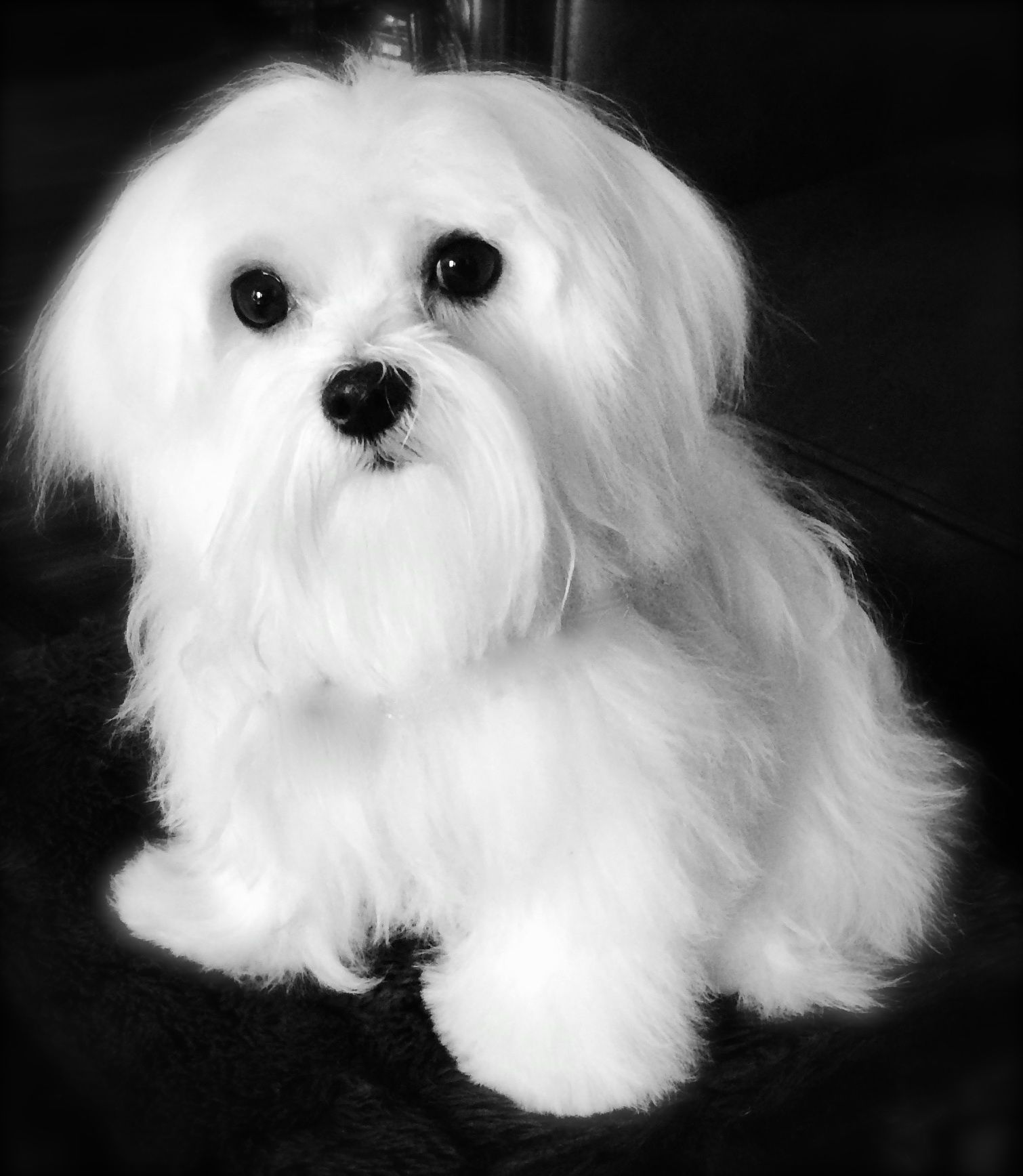 Coby. maltese Maltese yorkie puppy, Teacup puppies