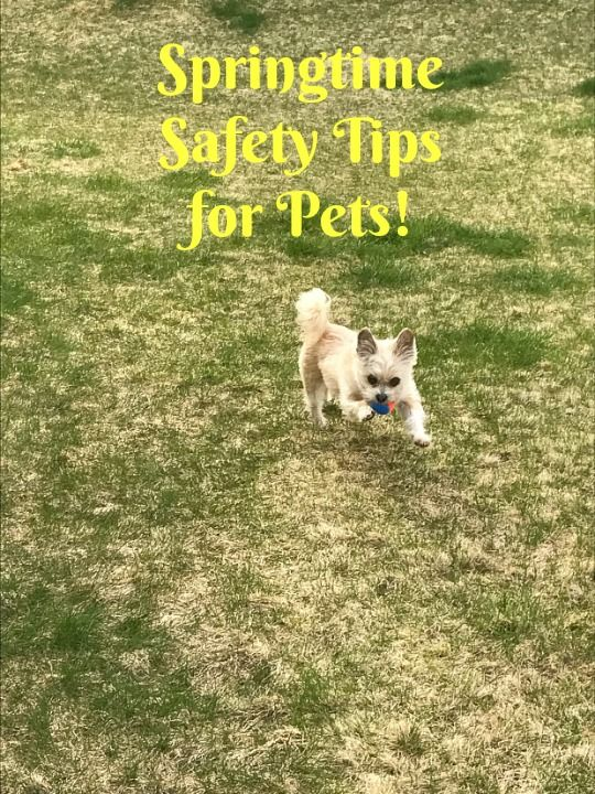 Springtime Safety Tips For Your Pets Purina Beyond And Kroger Keeps My Addy Active Rememberbeyond Ad Dog Safety Pets Dog Safe