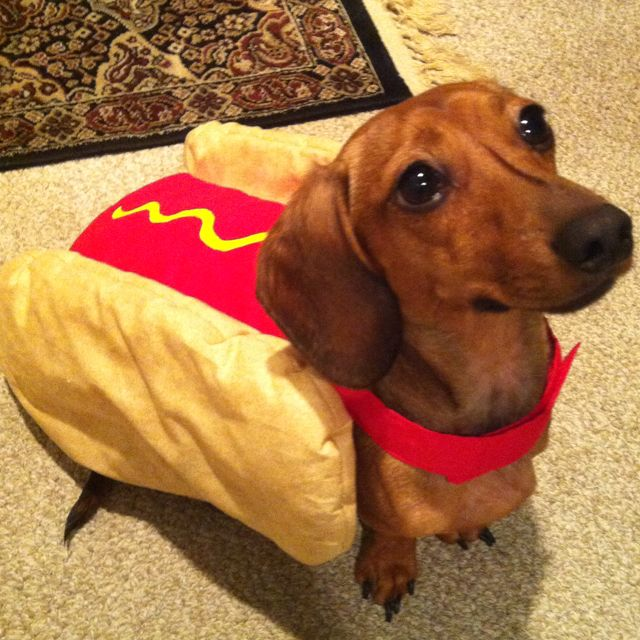 My Wiener Dog As A Hot Dog Weiner Dog Costume Best Dog Costumes