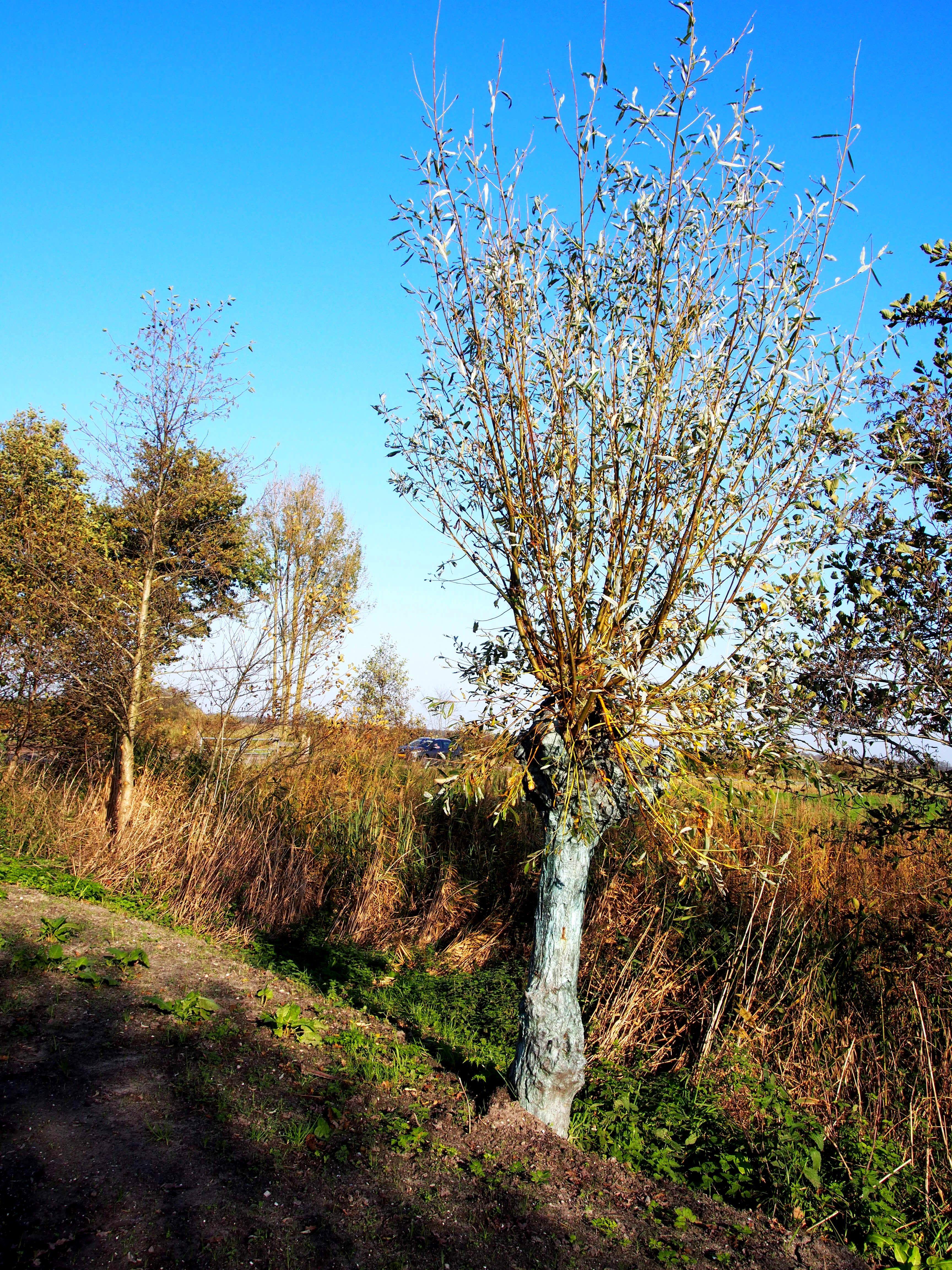 bijzonder kleurige boom in de Twijzerelmieden  Friesland