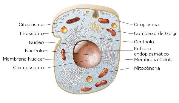 Célula animal - Biologia celular - Citologia   Célula animal ...