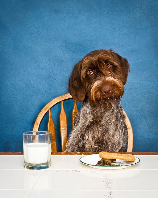 7/52] Got Milk? | Wirehaired Pointing Griffon | Pinterest | February ...