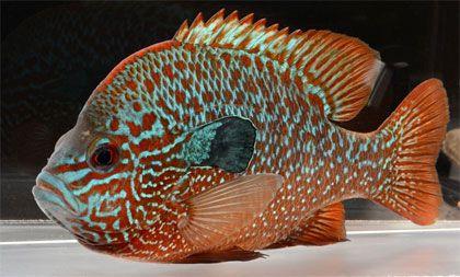 Zimmerman's Fish - North American Native Fish - Price   my aquarium