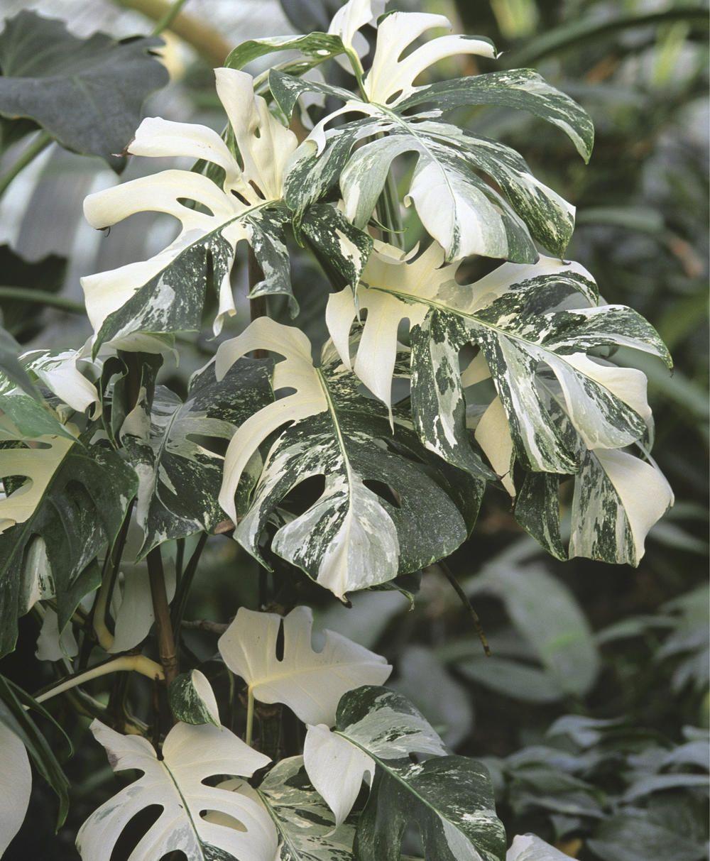 Monstera fensterblatt indoor pflanz und pflegetipps f r zimmerpflanzen pflanzen garten - Zimmerpflanze monstera ...