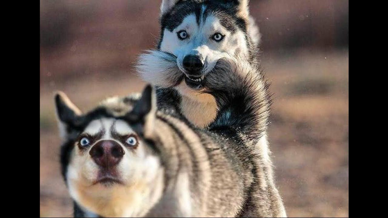 Funny And Cute Husky Puppies Compilation 1 Cutest Husky Puppies