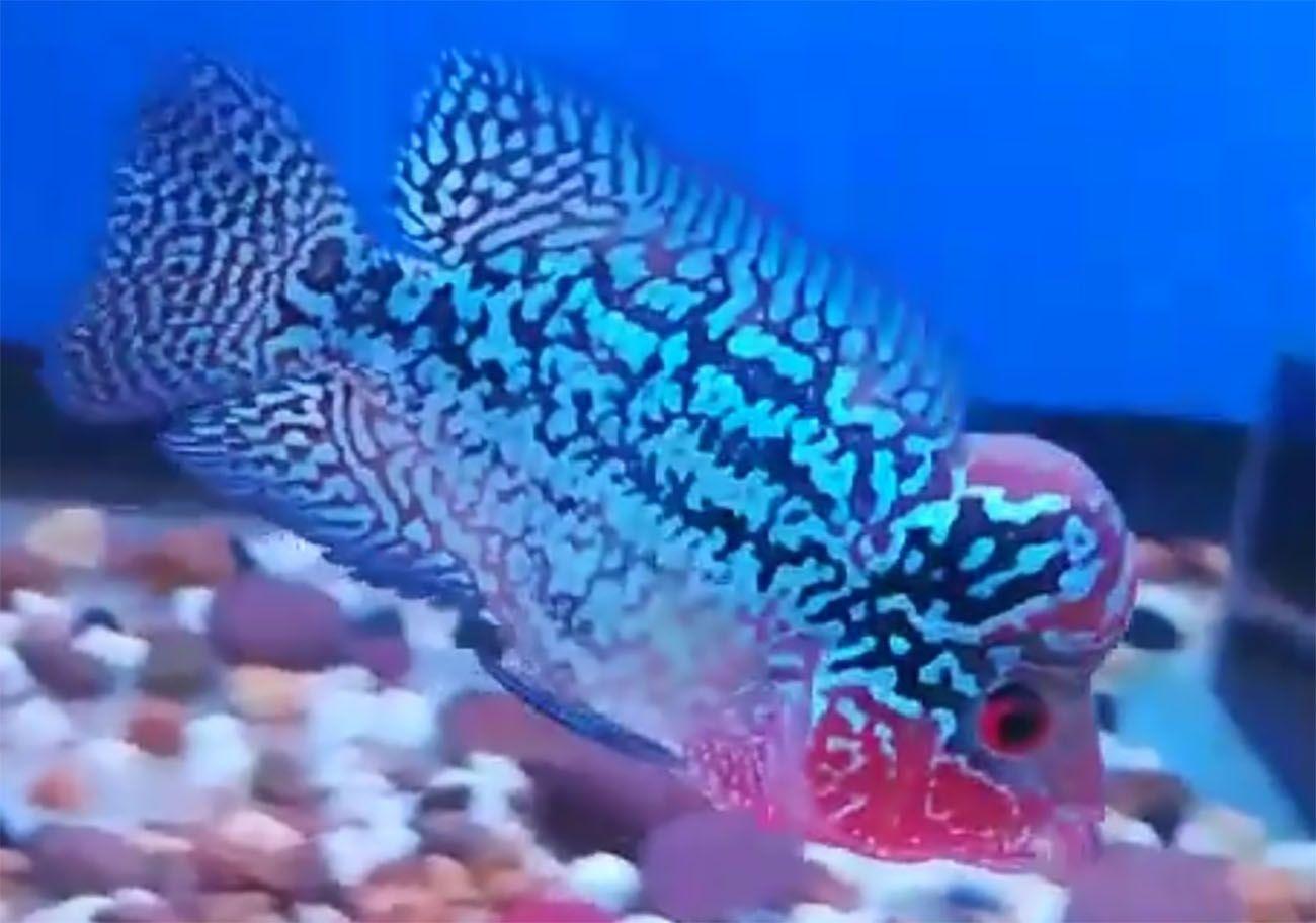 Top Attractive Types of Flowerhorn Cichlids Cichlids
