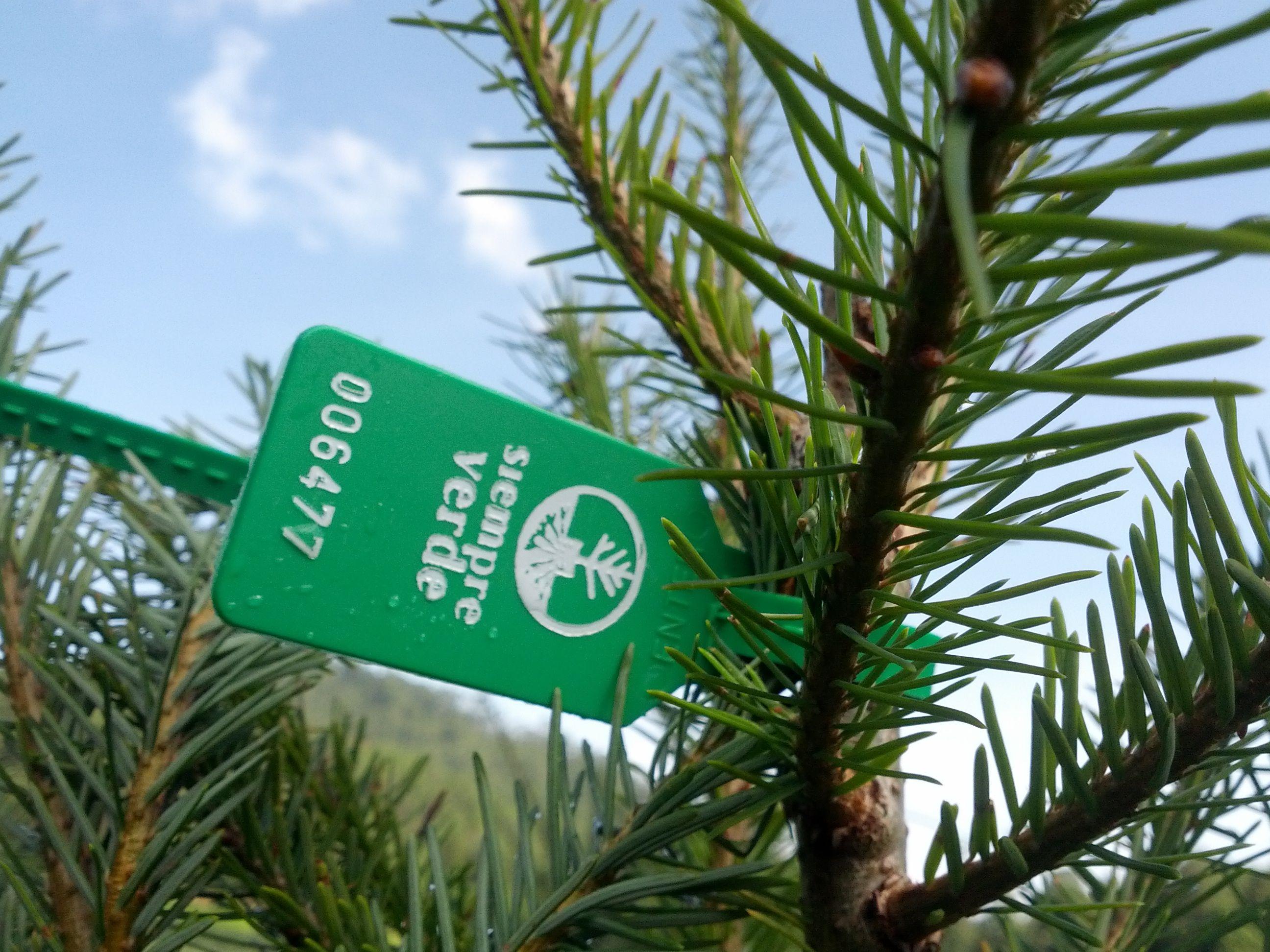 Siempre Verde, Navidad, Reforestación, México