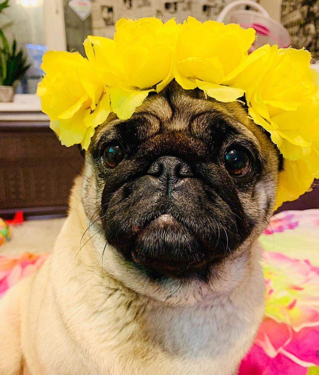 Happy pug Happy pug, Tumeric for dogs, Pugs