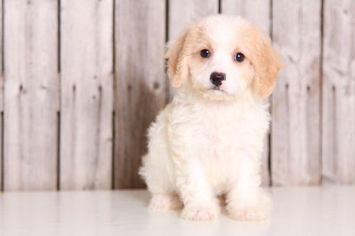 Cavachon Puppy For Sale In Mount Vernon Oh Adn 32504 On Puppyfinder Com Gender Female Age 9 Weeks Old Cavachon Puppies Cavachon Puppies For Sale
