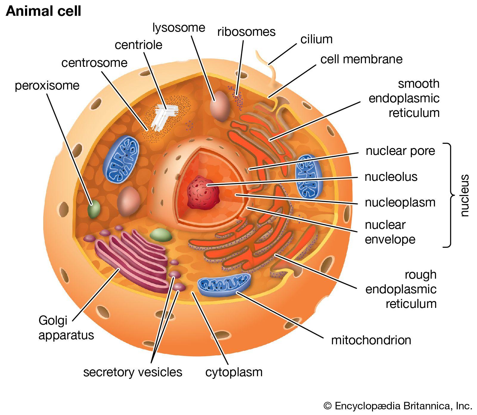 Cell Animal Cell Animal Cell Project Cell Analogy