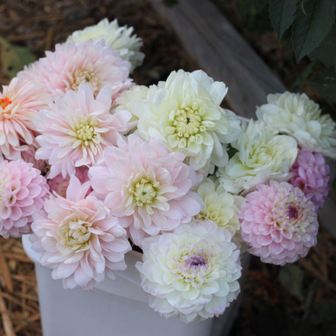 Dahlias Season On The Farm Flower Farm August Flowers Flowers