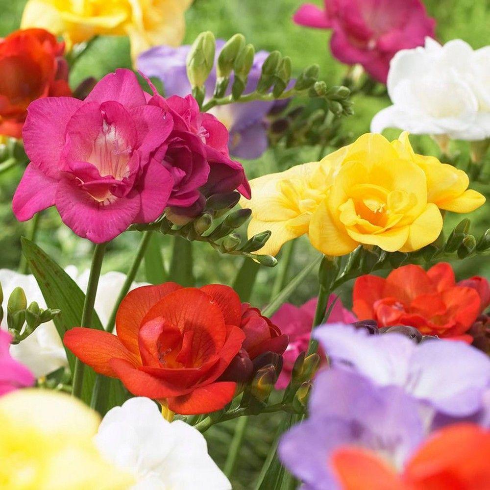 Freesias Double Blooming Mixed Set Of 25 Bulbs Van Zyverden In 2020 Bulb Flowers Spring Flowering Bulbs Flowers