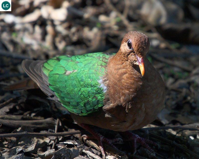 Cu luồng/Bồ câu lục bảo/Bồ câu cánh xanh Nam Á, Úc - Emerald dove/Green-winged pigeon (Chalcophaps indica)(Columbidae) IUCN Red List 3.1 : Least Concern (LC)(Loài ít quan tâm)