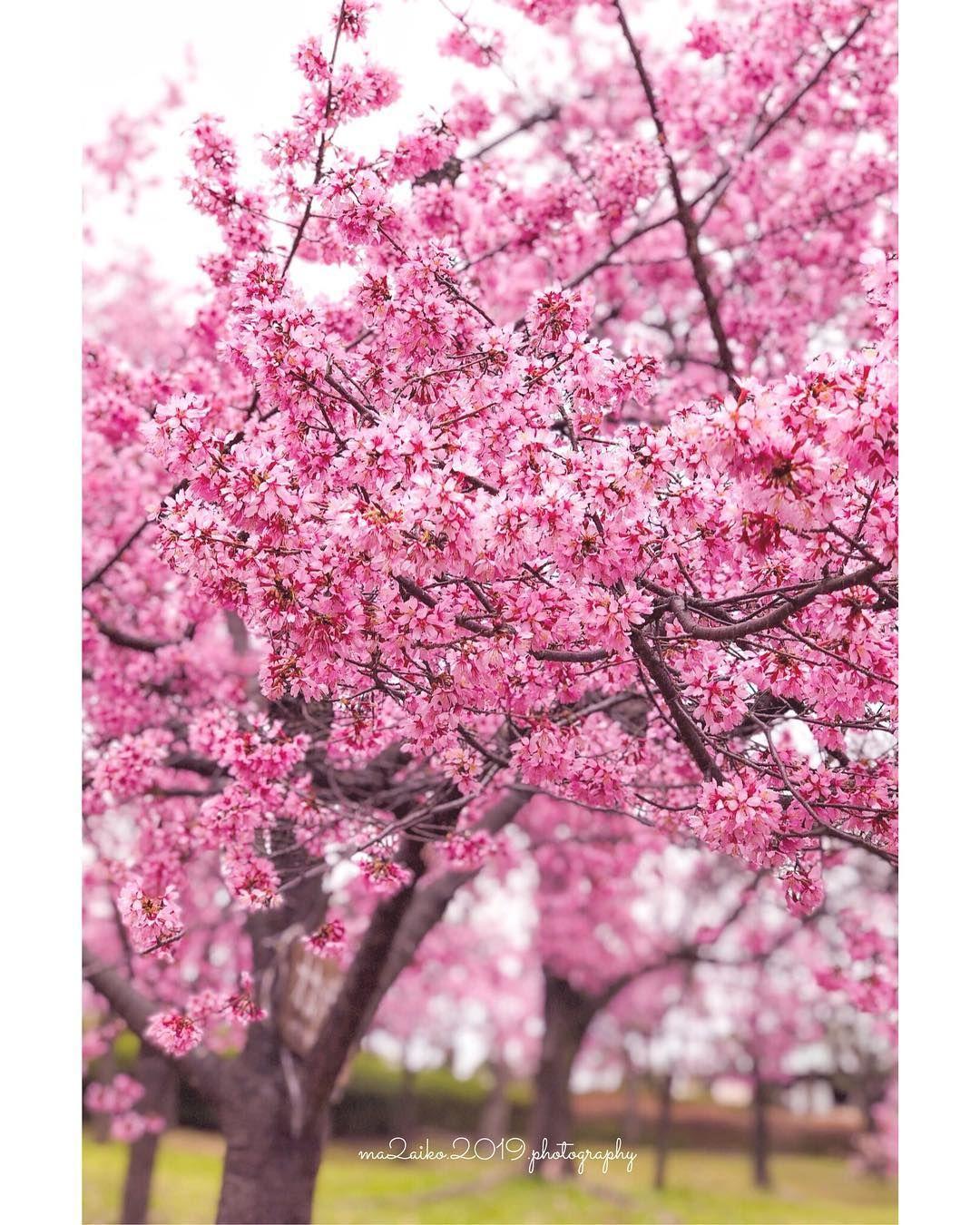 Pin Di Sakura Flowers