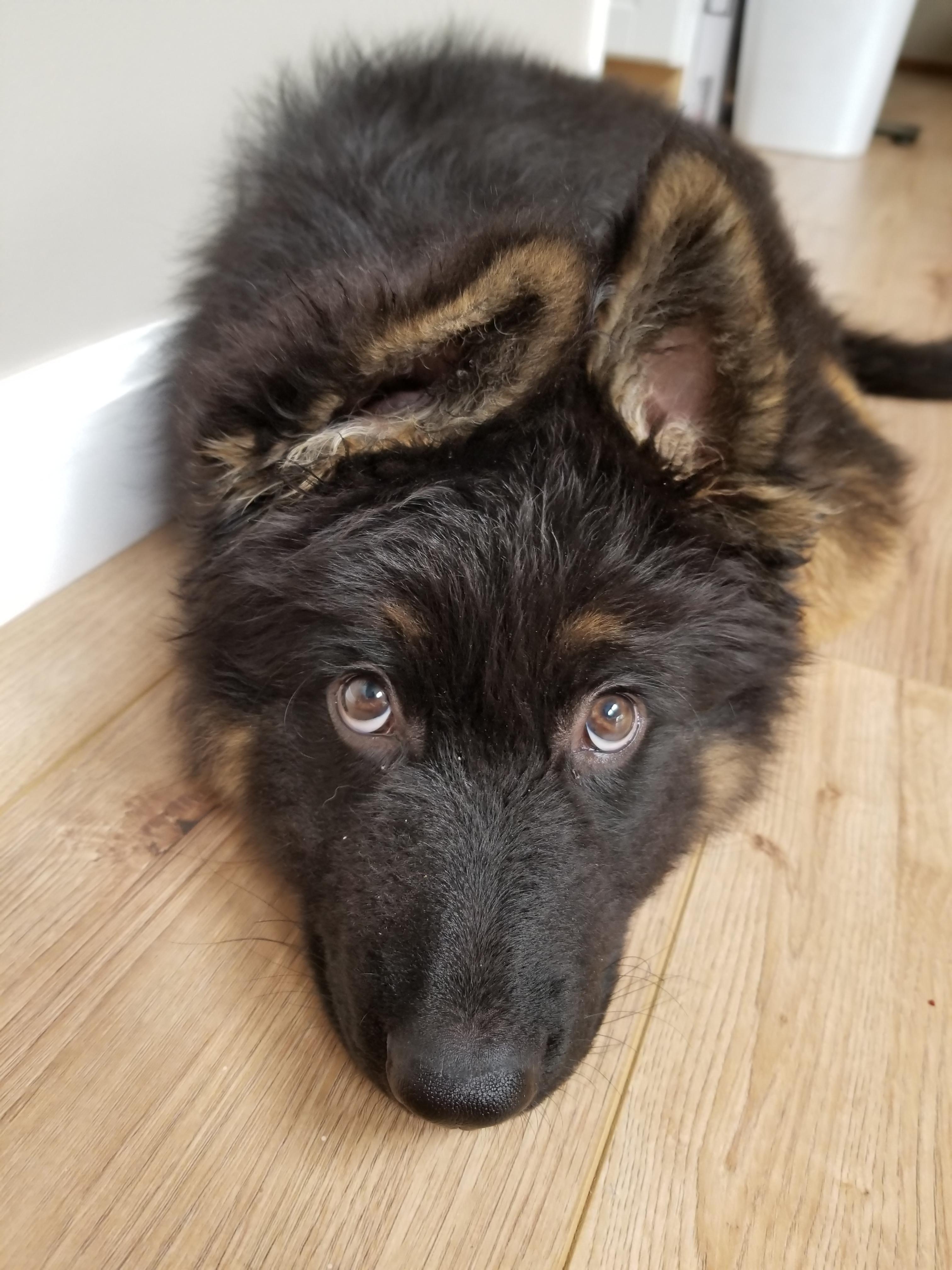 The Cutest Eyebrowshttps I Redd It To6j2mep4p311 Jpg German Shepard Puppies Black German Shepherd Dog Black German Shepherd Puppies