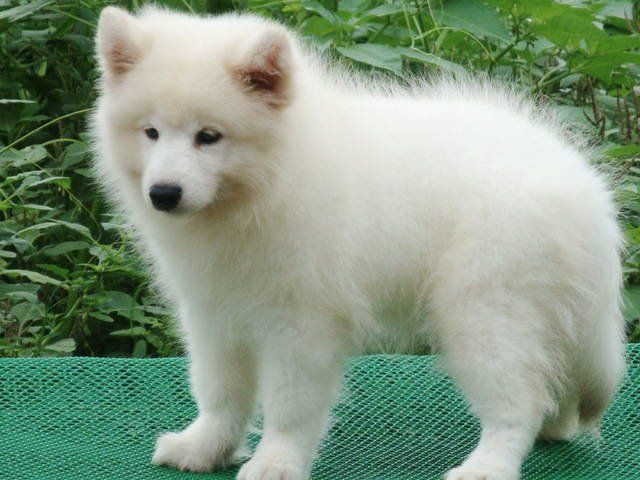Samoyed Puppies For Sale For Sale Adoption From Penang Prai
