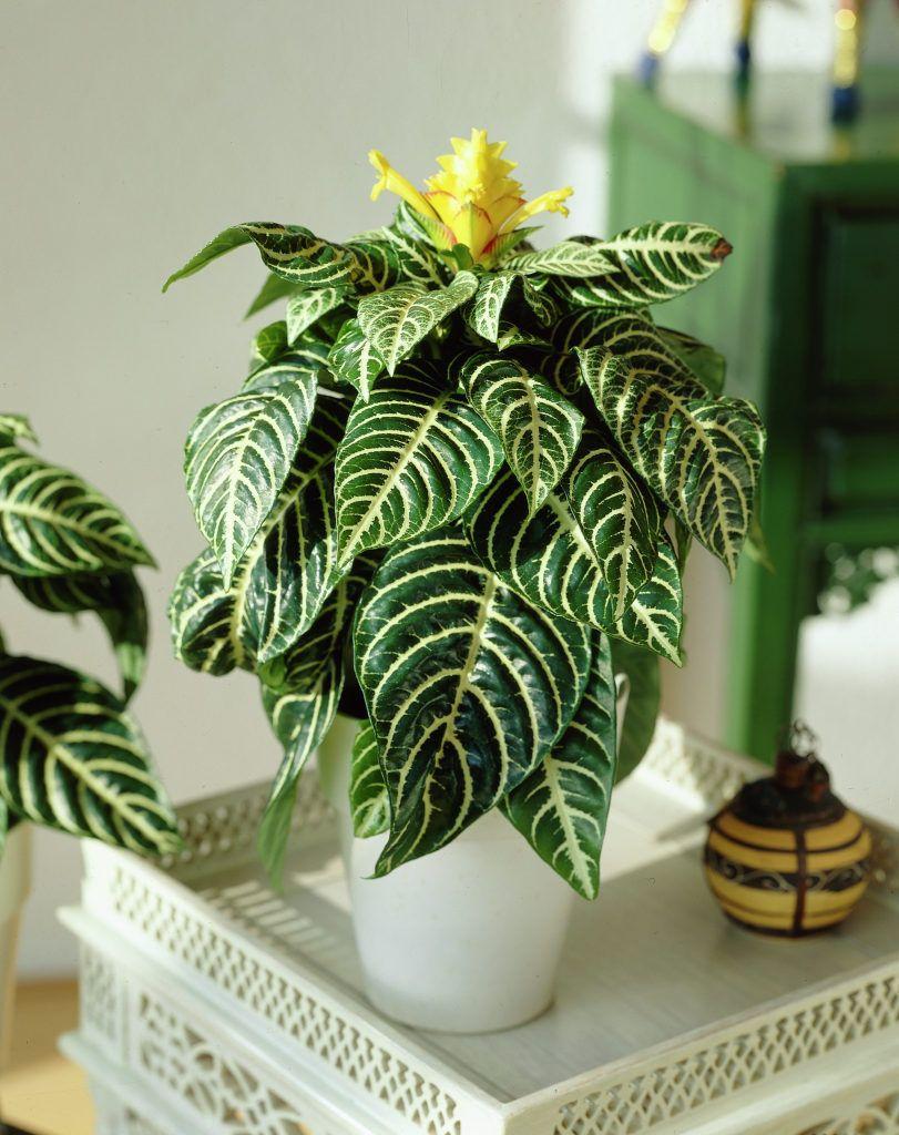 99Roots.com • Plants & Flowers • Zebra plant • Aphelandra ...