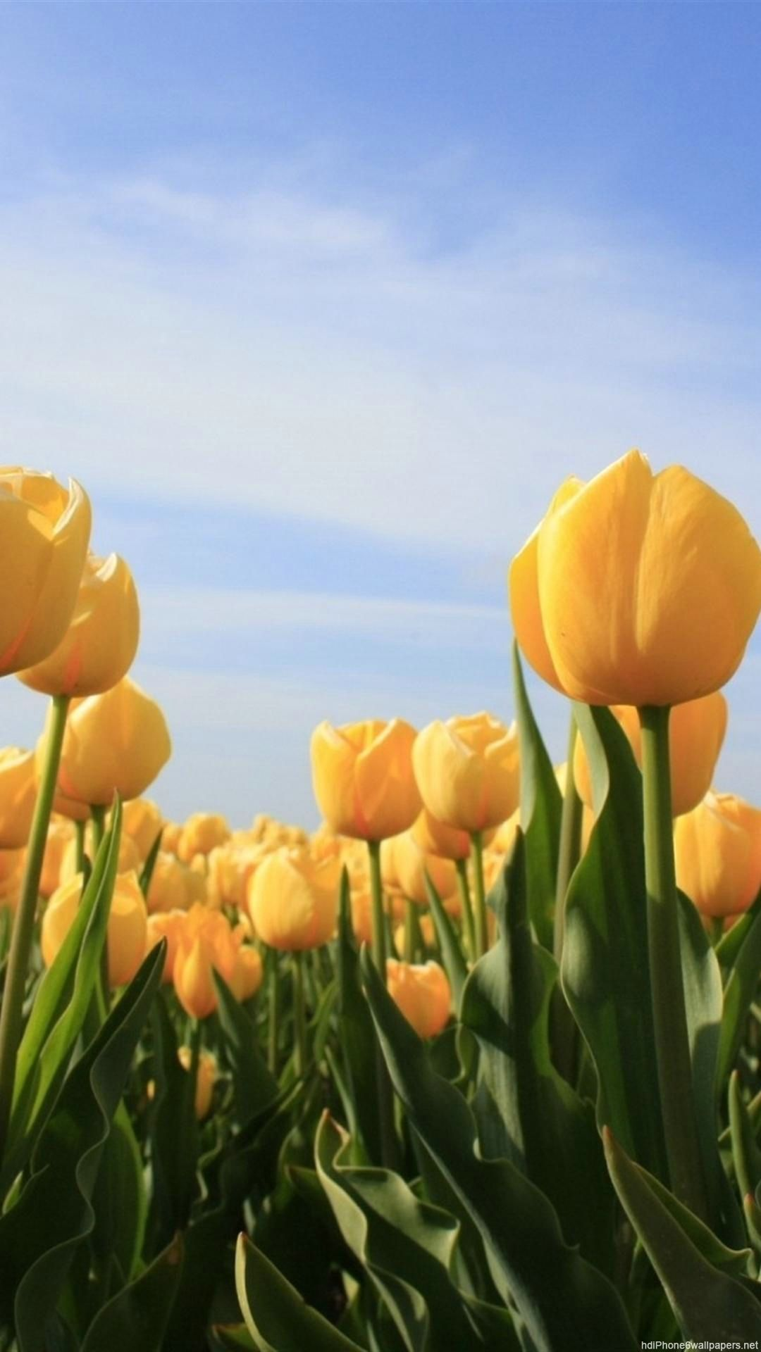 Flowers sun tulip sky yellow Iphone wallpaper yellow