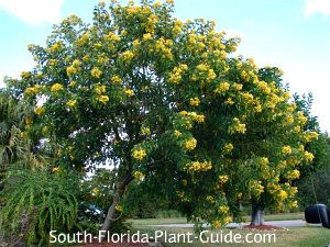 Cassia Trees Cassia spp Cassia trees are known for their display