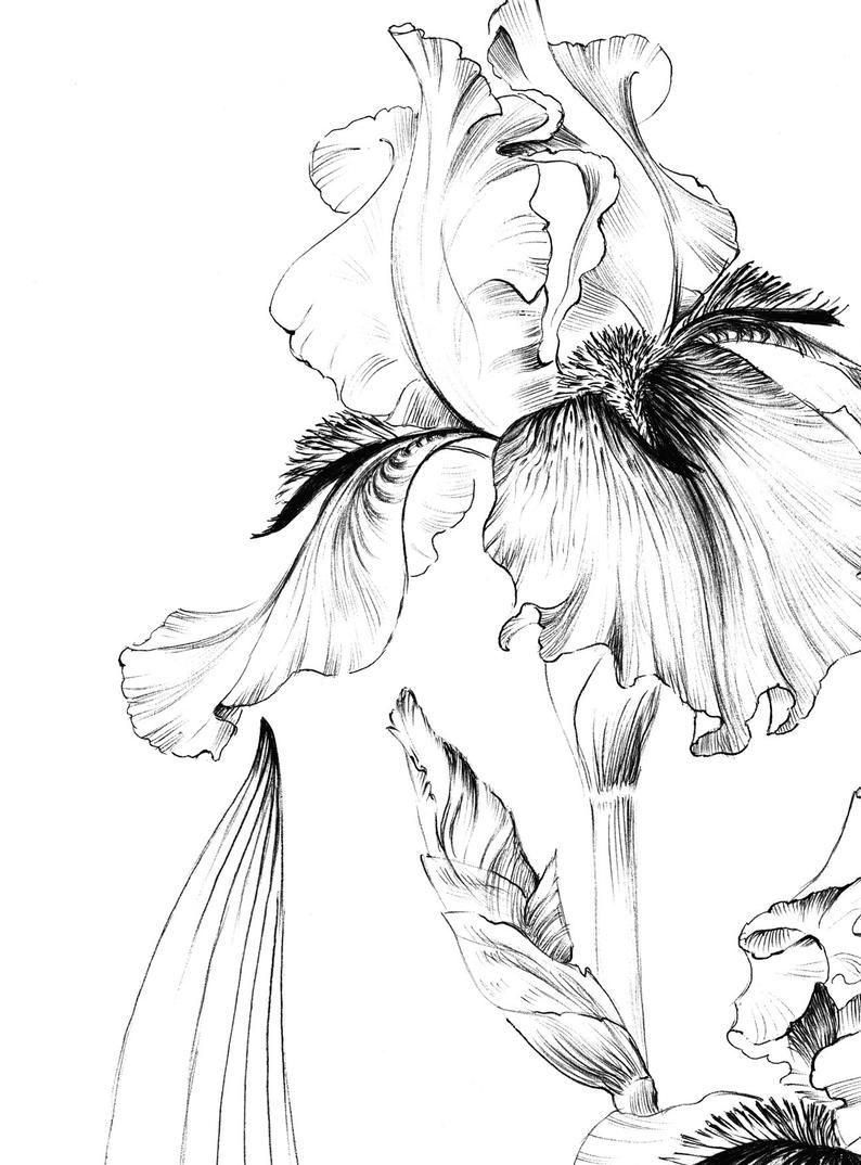 Iris Flower Sketch Printable Coloring Page Living Room Art Etsy In 2020 Flower Sketches Iris Drawing Iris Flowers