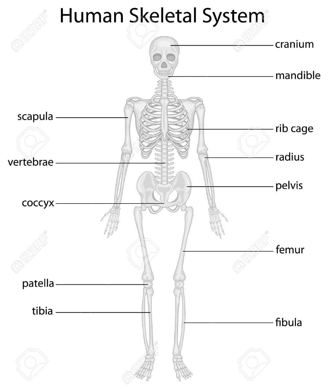 Human Skeleton Pictures With Labels With Images
