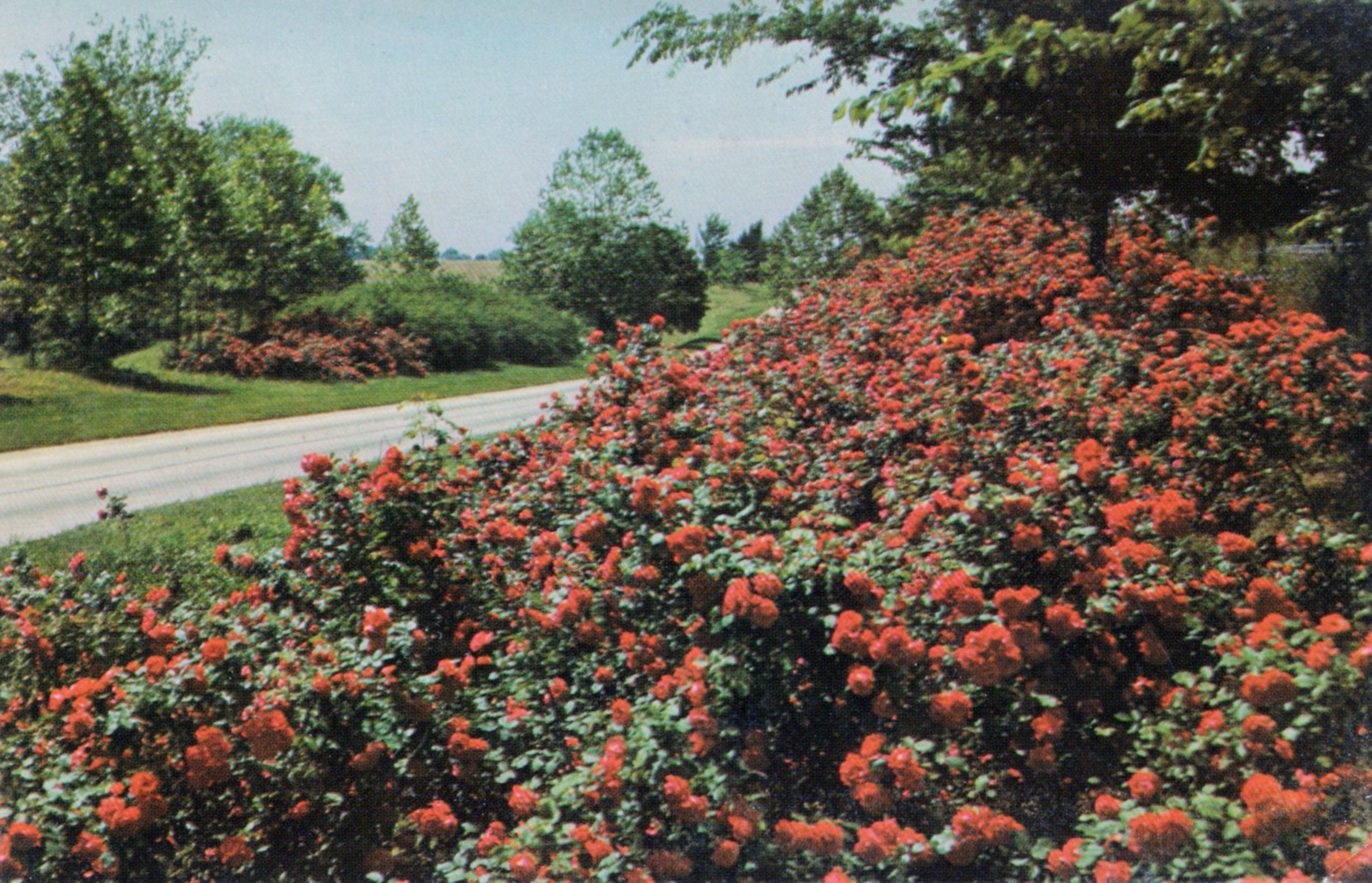Ten mile rose garden on US 61, between Cape Girardeau and Jackson ...