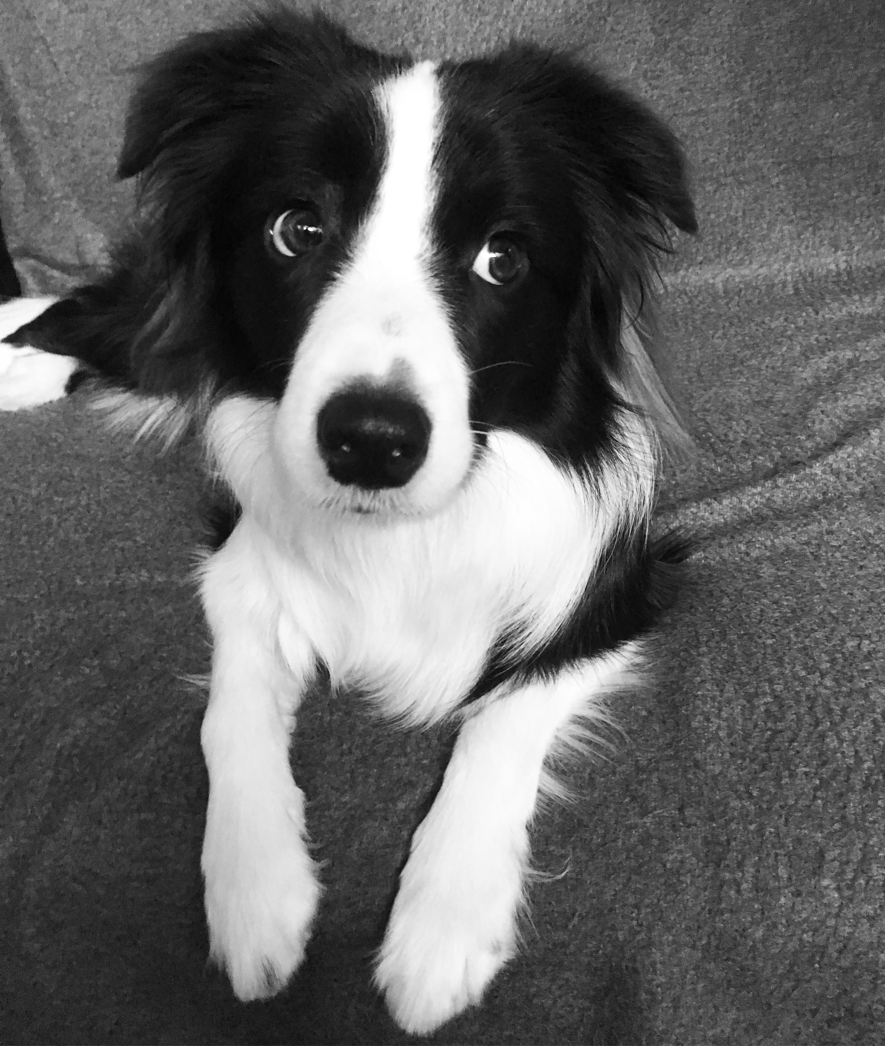 Love This Collie Collie Dog Collie Dogs