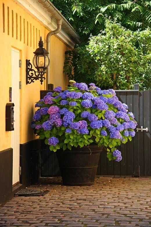 Gorgeous Shrubs for Containers  Garden Lovers Club20 Gorgeous Shrubs for Containers  Garden Lovers Club Hydrangea Stem for Planting Flower color is same as shown in the p...