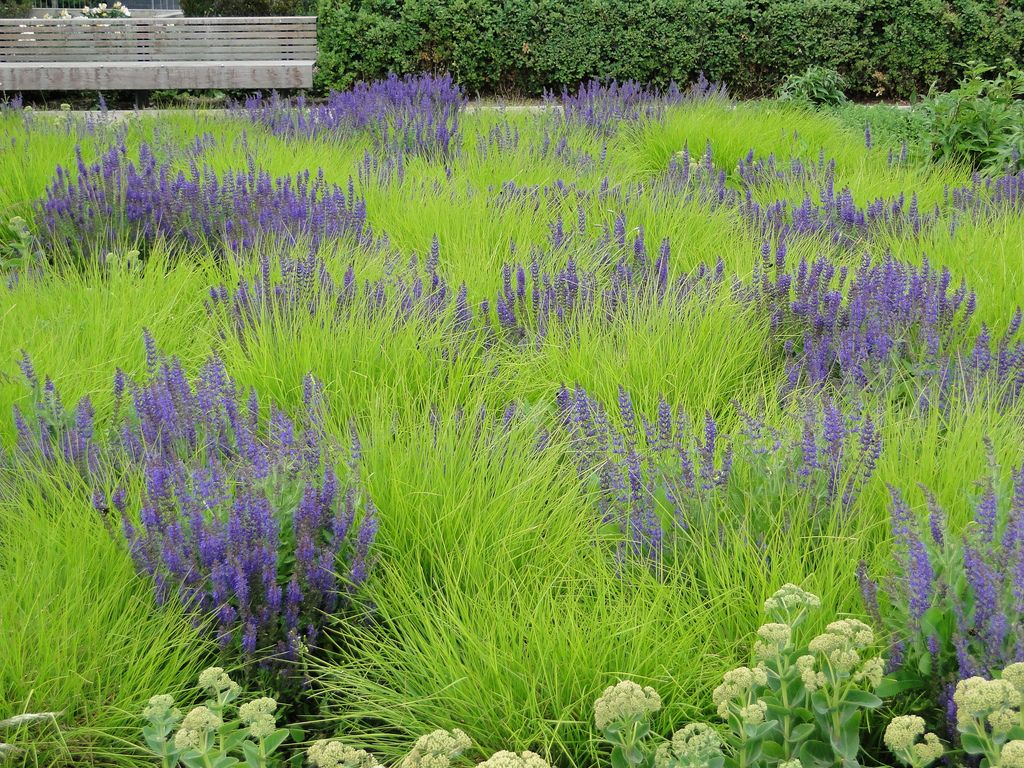Autumn Moor Grass (Sesleria autumnalis) with Salvia. Potters Fields Park, London. Piet ...