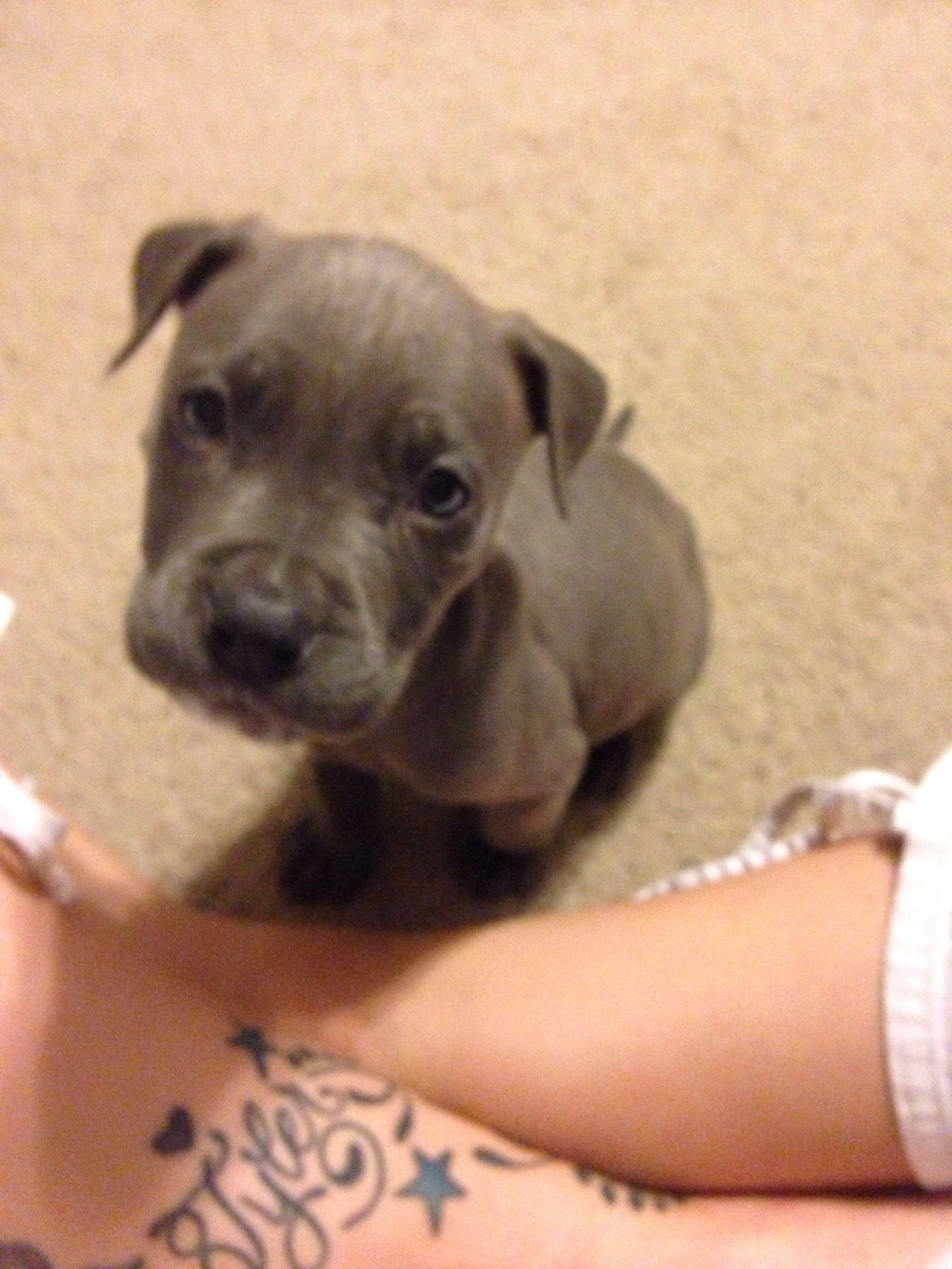 6 weeks old bluenose pitbull pitbulls puppies bully breeds