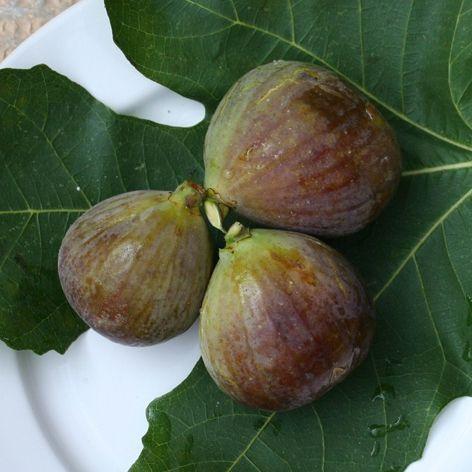 Italian fig named fico grigio