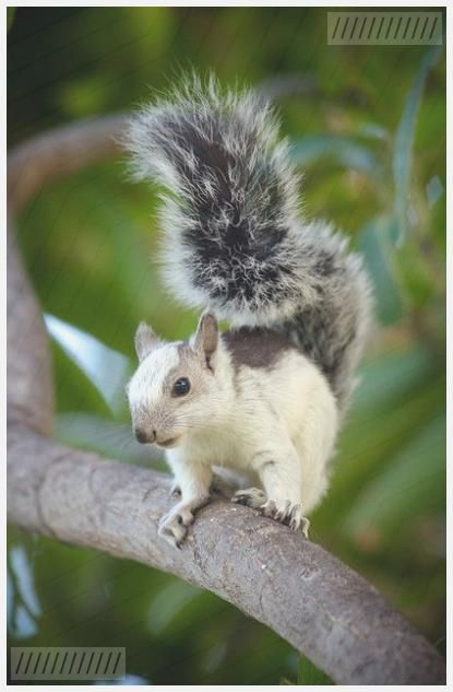Photo of Variegated Squirrel