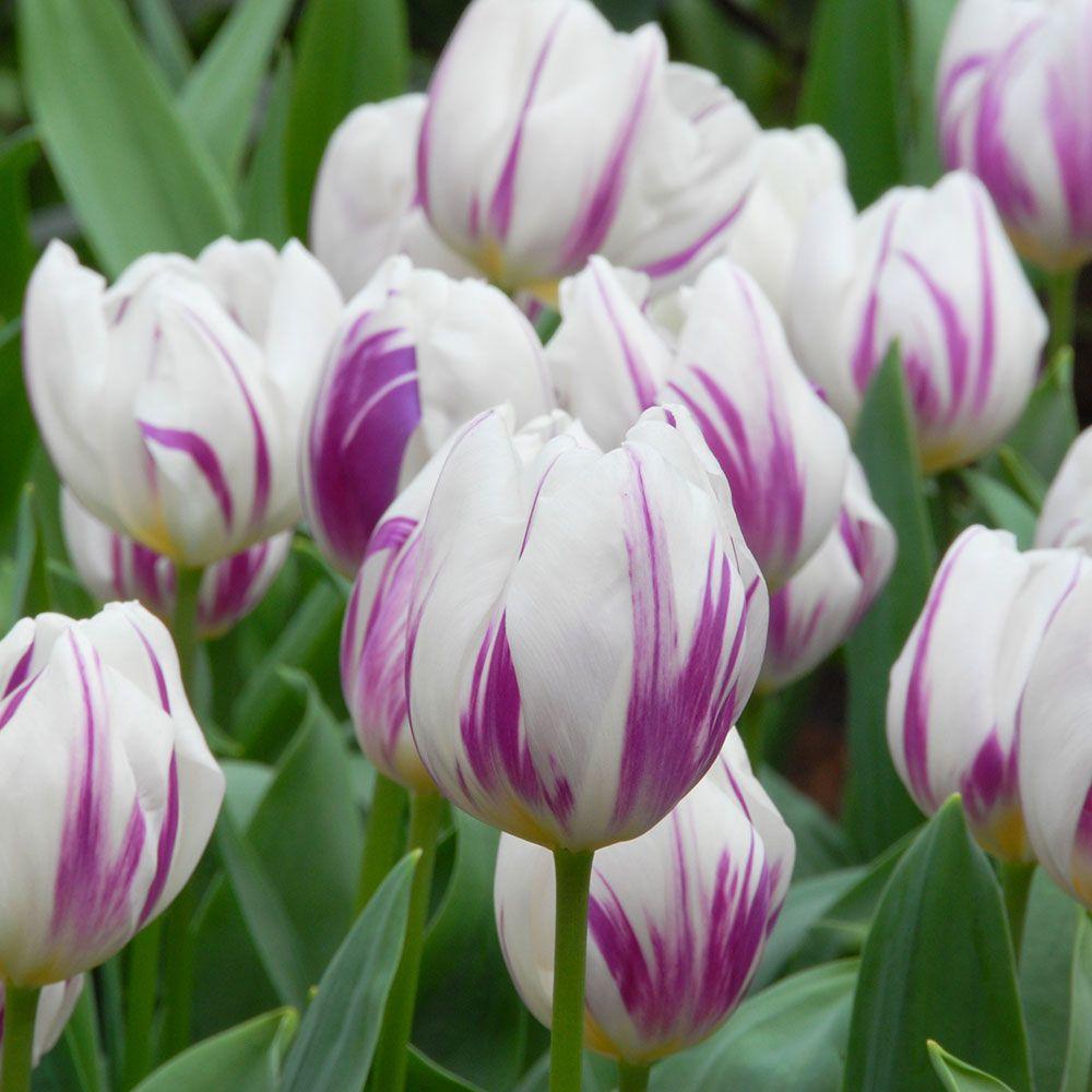 Tulip Flaming Flag Planting Tulips Tulips White Flower Farm