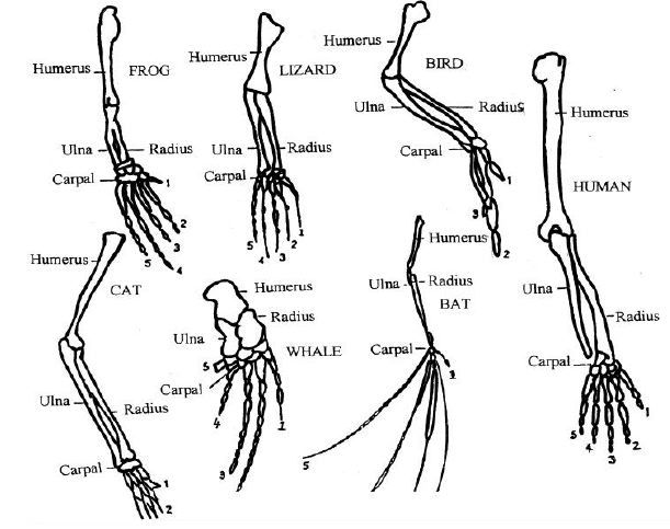 Anatomy and physiology of animals Various vertebrate limbs | Animal ...