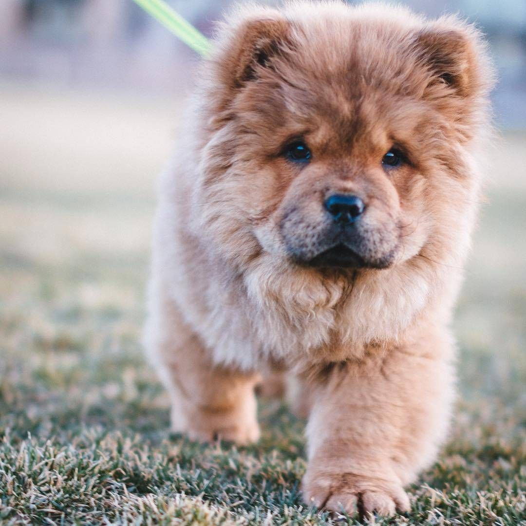 Best Images And Ideas About Chow Chow The Oldest Dog Breed Cute