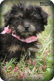 Glastonbury Ct Shih Tzu Miniature Poodle Mix Meet Millie A