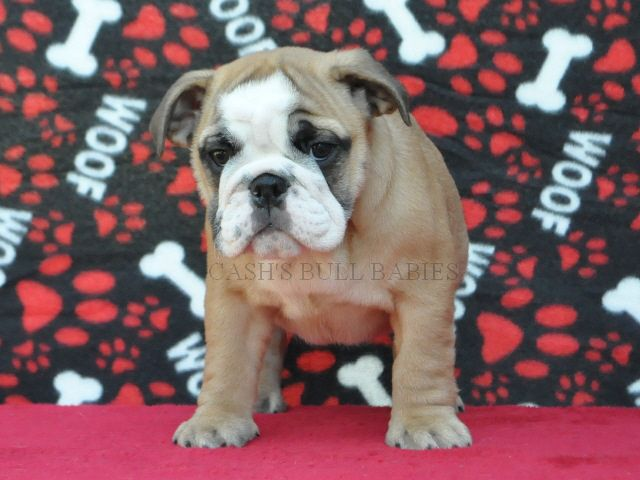 Akc English Bulldog Puppies For Sale Champion Sired English