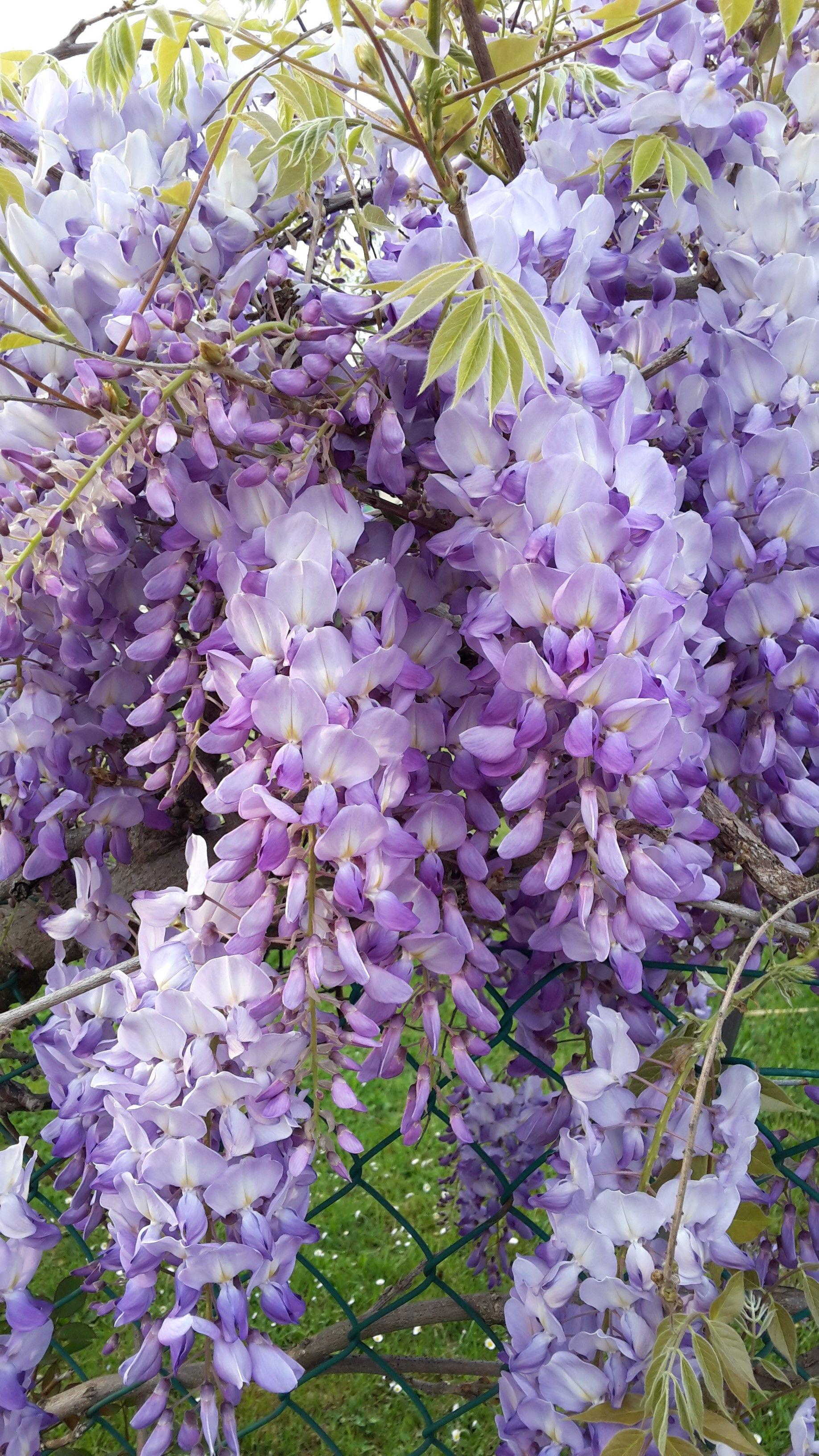 Romantico Glicine Beautiful Flowers Flower Garden Gorgeous Gardens
