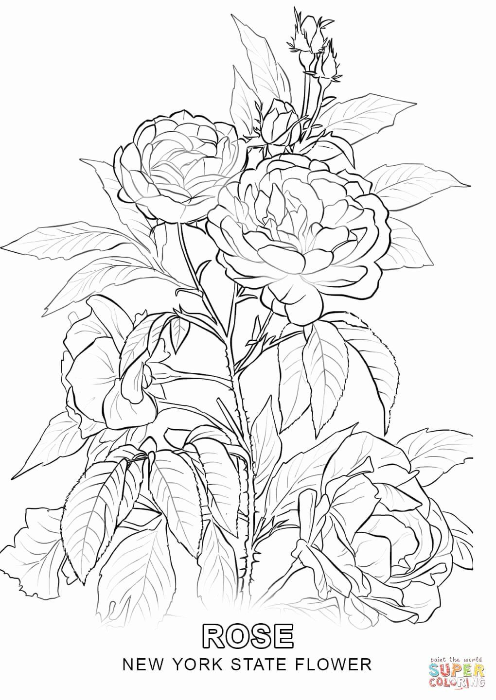 State Flower Coloring Pages Best Of New York State Flower Coloring