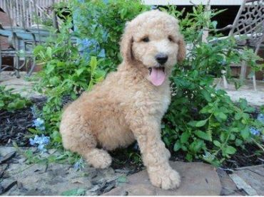 Compare Dogs Goldendoodle vs Pyredoodle. Detailed info on