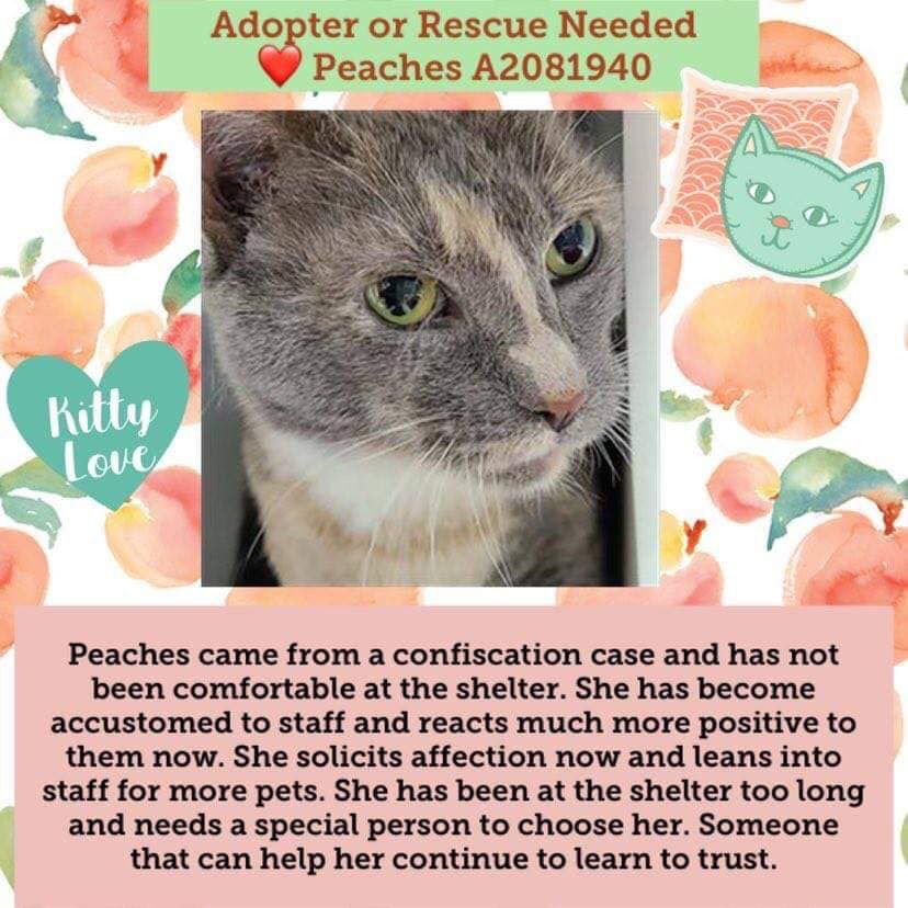 Pin By Sara On Save A Life Diluted Calico Adoption Kitty