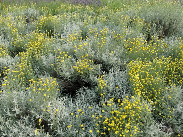 Zypressen Heiligenkraut Pflanzen Fur Hubsche Farbtupfer Im Garten In 2020 Heiligenkraut Pflanzen Garten