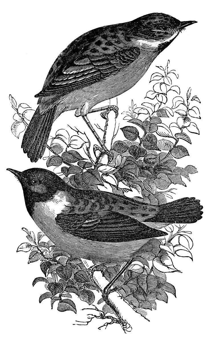 Vintage Bird Art Black And White Vintage Bird Prints Bl...