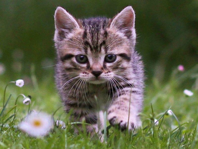 Cute Tabby Kitten Wallpaper Free Kitten Downloads Tabby Kitten